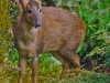 Muntjac- Eating My Plants