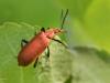 Red Cardinal Beetle